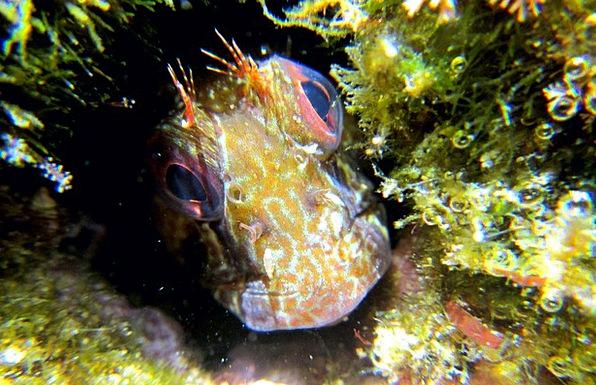 Blenny Angle Animals Faunae Fish Snorkeling Swimmi