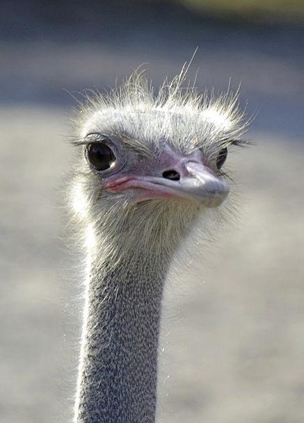 Emu Bird Fowl Emu Head Flightless Bird Cheeky Head