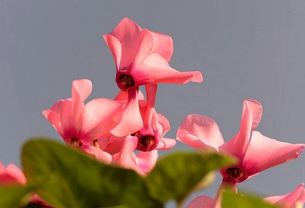 Cyclamen Landscapes Basils Nature Nature Countrysi