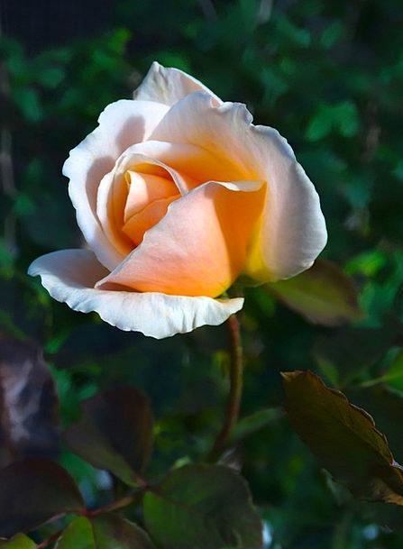 Rose Design Flower Floret Rose Bloom Pink Orange