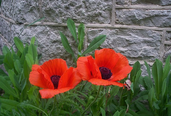 Poppies Bloodshot Flowers Red Blooming Green Lime
