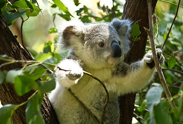 Koala Tolerate Koala Bear Bear Tree Wild Rough Nat
