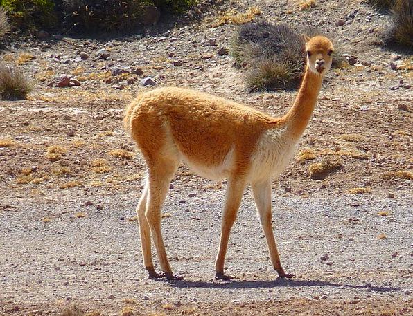 Vicuña Monk Paarhufer Lama Peru Animal Camel Mamma
