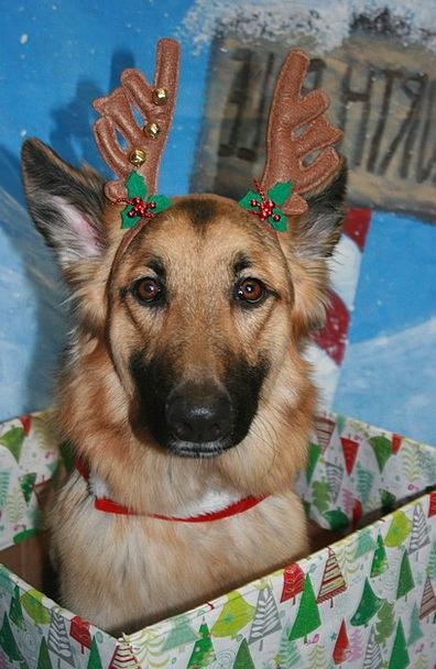 German Shepherd Dog Christmas Holiday Animal Physi