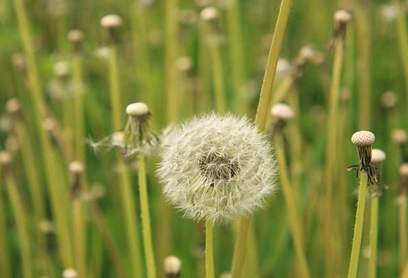Dandelion Landscapes Unfilled Nature Fluffy Fleecy
