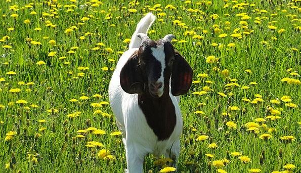 Goats Faunae Goat Baby Animals