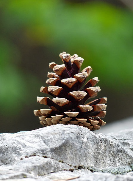 Pine Cones Blow Strobilus Tap Conifer Cones Seeds