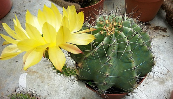 Cactus Landscapes Nature Flower Floret Echinocereu