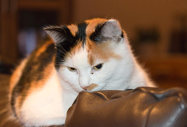 Cat Feline Creature Pet Domesticated Mammal Couch