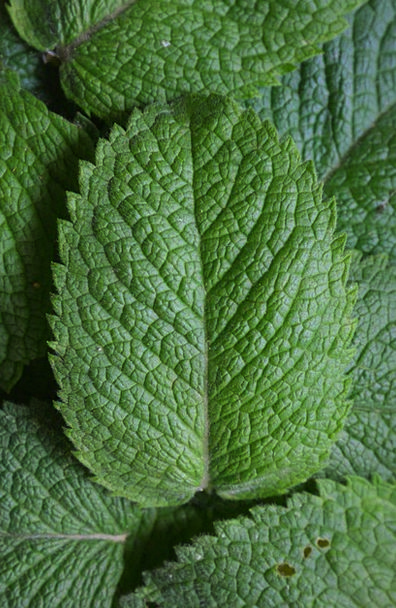 Peppermint Landscapes Perfect Nature Herbs Basils