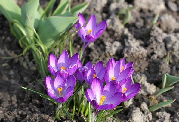 Saffron Landscapes Nature Flowers Plants Krokus Pl