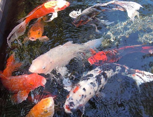 Fish Angle Aquatic Fish Swarm Water Nishikigoi Koi