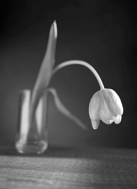 Tulip Floret Tired Weary Flower Black Dark White S