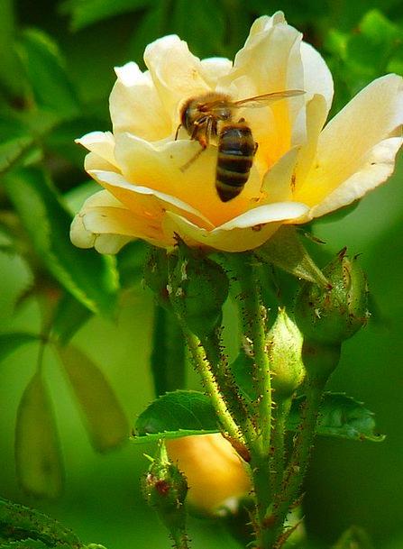 Rose Design Floret Bee Flower Sprinkle Sprinkling