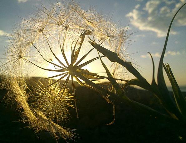 Dandelion Sunshine Solar Astral Sunlight Feather Q