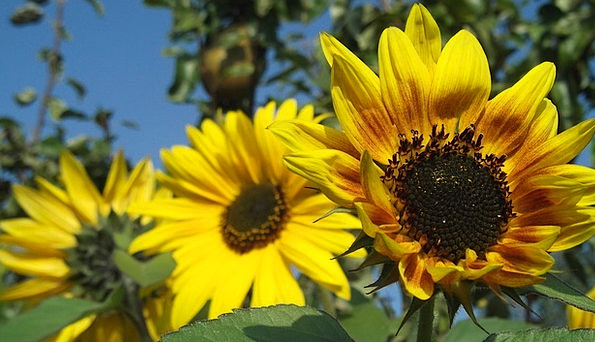 Sunflower Landscapes Cheerful Nature Nature Countr