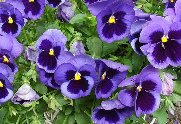 Viola Landscapes Nature Flowers Plants Pansy Blue