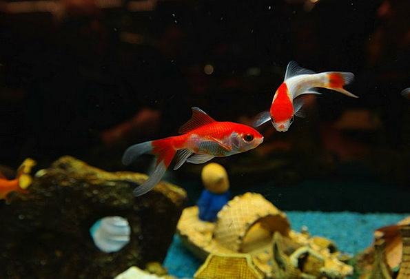 Fish Angle Freshwater Fish Goldfish Swim Karpfenfi
