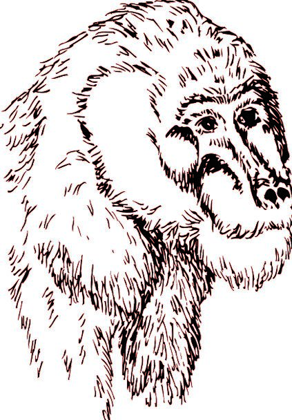 Head Skull Expression Animal Physical Face Chimp C