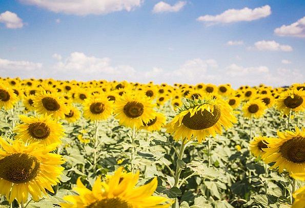 Sun Flowers Landscapes Sunlit Nature Sun Sunny Lig