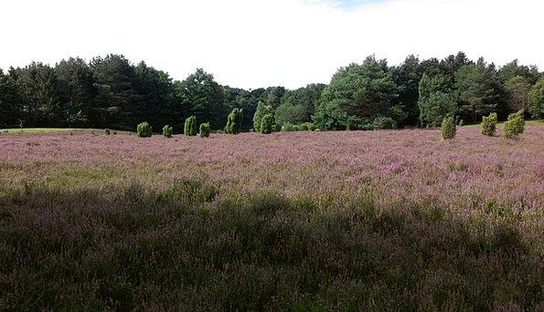 Heide August Imposing Heathland Heidenfest Lünebur