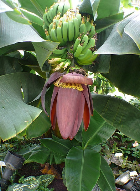 Banana Tree Drink Crazy Food Shrub Bush Bananas Ba