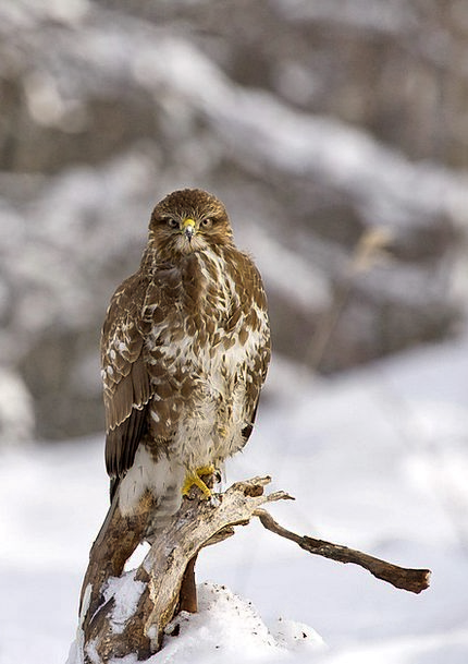 Buzzard Fowl Buteo Buteo Bird Winter Season Nature