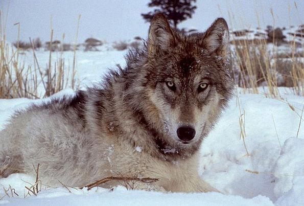 Wolf Casanova Grey Old Canis Lupus Mammal Wild Rou