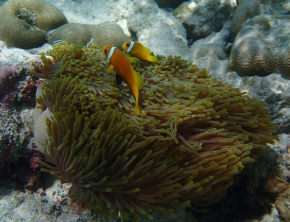 Anemone Fish Angle Underwater Submerged Fish Sea M