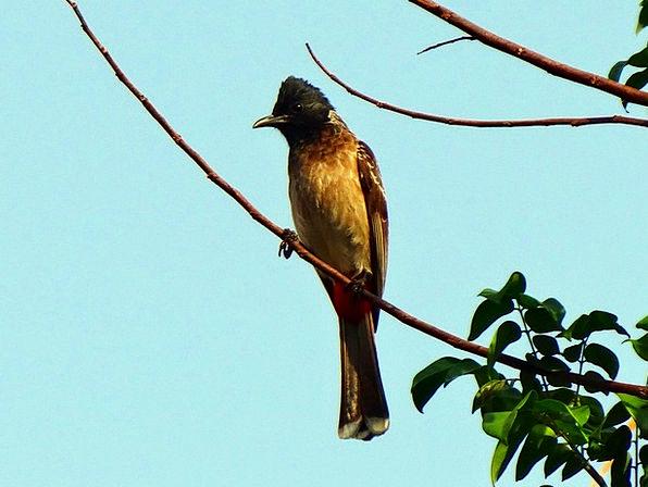 Bird Fowl Pycnonotus Cafer Red-Vented Bulbul Wild