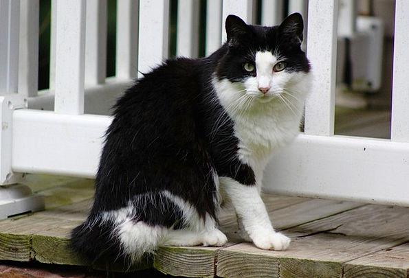 Cat Outdoor Pet Domesticated Outside Feline Catlik