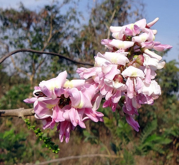 Gliricidia Sepium Bee Mexican Lilac Tree Sapling F