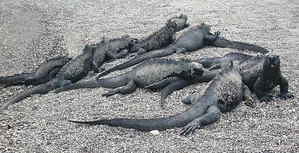 Iguana Landscapes Maritime Nature Galapagos Marine