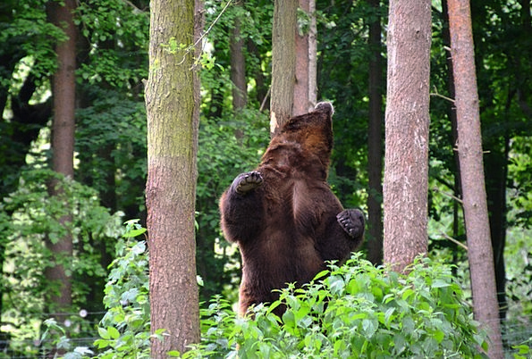 Bear Tolerate Landscapes Woodland Nature Eco-Park