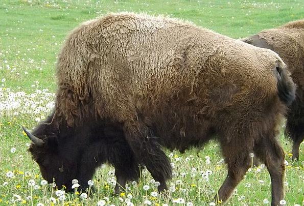 Buffalo Intimidate Western Cowboy movie Bison Amer