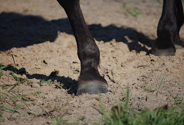 Hoof The Horse Galop Pony Horses Cattle Animal Kon