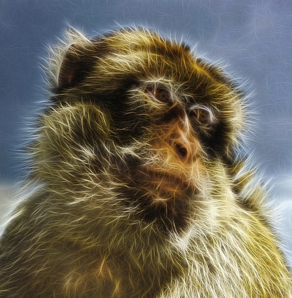 Barbary Macaque Berberaffe Common Macaque Artwork
