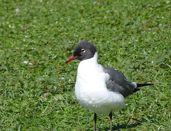 Laughing Gull Bird Fowl Bird Watching Florida Gull