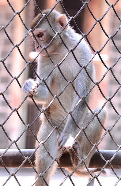Monkey Ape Hike Cage Birdcage Climb Encaged Jail A