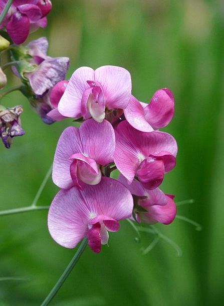 Vetch Fabaceae Vicia Faboideae Flora Legume Purple