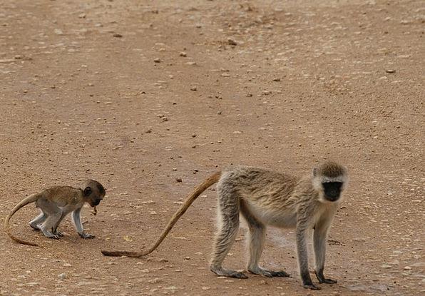 Monkeys Apes Tanzania Africa Primate Serengeti Wil