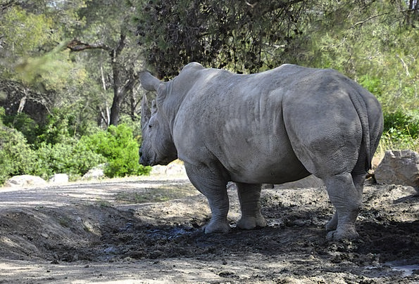 Rhino Big Game Wild animals Black Rhino Mud Mammal