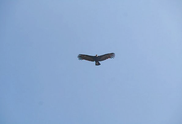 Flight Aeronautical Fowl Ave Bird Sky Blue Wings F