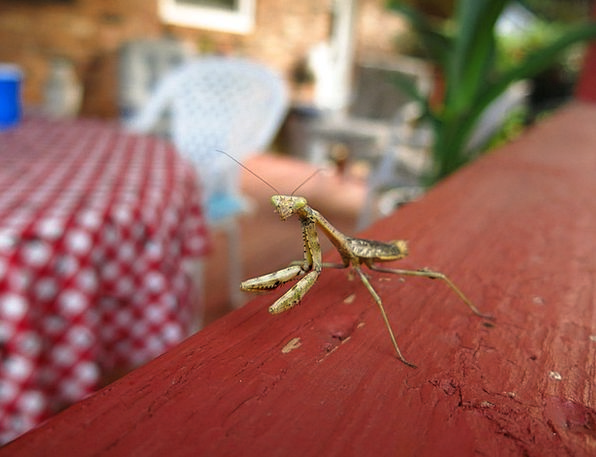Mantis Requesting Insect Praying Creepy Green Lime