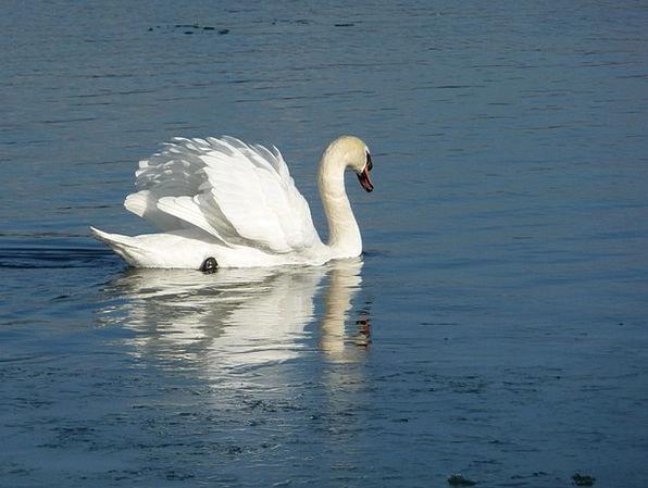 Swan Wander Landscapes Nature White Snowy Water Bi