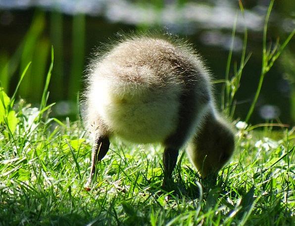 Gosling Landscapes Nature Baby Darling Goose Newbo
