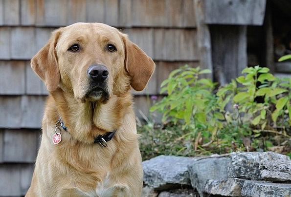Dog Canine Nature Countryside Labrador Bright Coat