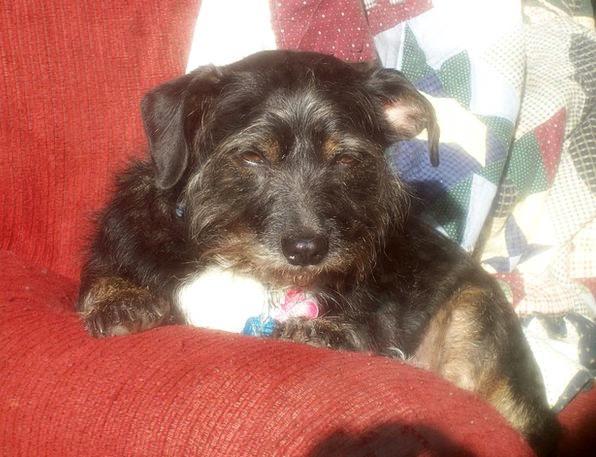 Dog Canine Sunny Sunlit Terrier Sleepy Drowsy Pet