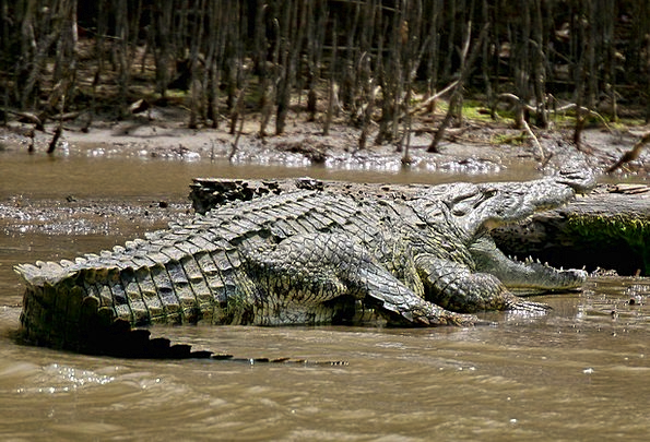 Crocodile Line Rough Animal Physical Wild Angry Af