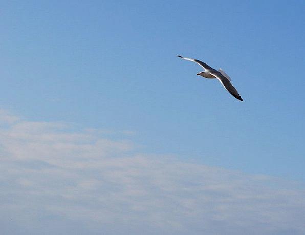 Seagull Hover Ala Fly Sky Blue Flight Bird Aeronau